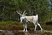 A reindeer stands in the forest and looks around, near Rätan, Härjedalen Province, Sweden