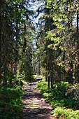 Einsamer Waldweg im Sonnenschein, Bjuröklubb, Västerbottens Län, Schweden