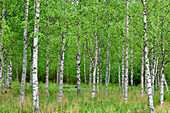 Dense birch forest with meadow, near Kälarne, Jämtland Province, Sweden