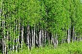 Dense, bright green birch forest with bushes, Bjuröklubb, Västerbottens Län, Sweden