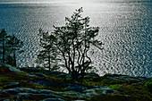 Kiefer auf den Felsen im Gegenlicht vor der glitzernden Ostsee, Bjuröklubb, Västerbottens Län, Schweden
