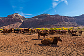 Cattle Grazing in Beef Basin near Indian Creek National Monument, formerly part of Bears Ears National Monument, southern Utah, USA