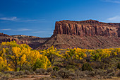 Autumn Fremont Cottonwoods, Populus fremontii, with sandstone mesas, in Indian Creek National Monument, formerly part of Bears Ears National Monument, southern Utah, USA