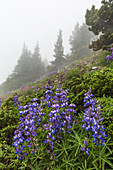 Broadleaf Lupine, Lupinus latifolius, blooming on Mount Townsend in the Buckhorn Wilderness, Olympic National Forest, Washington State, USA