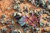 A flowering plant is growing under dry conditions at the Hongoryn Els sand dunes in the Gobi Desert in southern Mongolia.