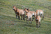 A group of Przewalski?s horses (Takhi), an endangered species, in Hustain Nuruu National Park, Mongolia.