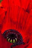 Close-up of Oriental poppies in a garden in Bellevue, Washington State, USA.