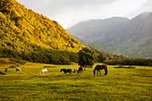 Horses grazing in field at sunset, Kauai, Hawaii