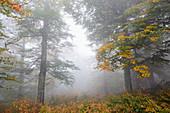 Ukraine, Zakarpattia region, Carpathians, Borzhava, Hillside mountain Munchel, Autumn woods in morning fog