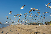 Flock of seagulls taking off from Santa Monica Beach