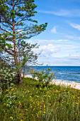 Baltic Sea in Bansin from dune with pine and grass, blue summer sky slightly cloudy, Usedom, Mecklenburg-Western Pomerania, Germany