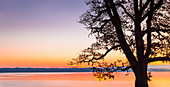 Bare tree in silhouette at sunrise on Lake Starnberg, Bernried, Bavaria, Germany