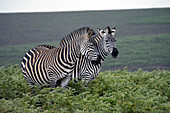 Malawi; Northern Region; Nyika National Park; Zebras on the Nyika plateau; almost treeless grassland and extensive fern meadows