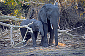 Malawi; Southern Region; Liwonde National Park; Mother elephant with her boy