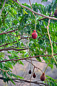 Malawi; Northern Region; on the national road M1; north of Mzuzu; Parkia tree with red flowers