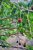 Malawi; Northern Region; an der Nationalstraße M1; nördlich von Mzuzu; Parkia-Baum mit roten Blüten