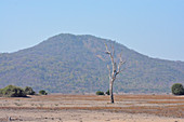 Malawi; Southern Region; Liwonde National Park; dead tree in the savannah; in the background wooded hills in the southern park