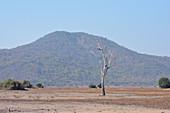 Malawi; Southern Region; Liwonde National Park; abgestorbener Baum in der Savanne; im Hintergrund bewaldeter Hügel im südlichen Park