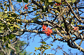 bright red flowers of an Abyssinian coral tree; Luwawa Forest; North Malawi