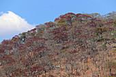 Autumn Miombo forest; the leaves have turned reddish; north of Kasungu, Northern Malawi; Malawi