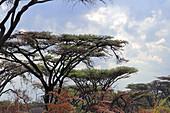Malawi; Northern Region; Nyika National Park; Abyssinian Acacias or Flat Top Acacias