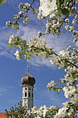 Apple blossom with tower of the church of Jasberg, Upper Bavaria, Bavaria, Germany
