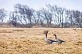 Resting gray geese near Keitum, Sylt, Schleswig-Holstein
