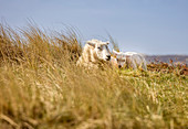 Sheep in the Ellenbogen nature reserve, Sylt, Schleswig-Holstein, Germany