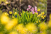 Daffodils and hyacinths on Friesenwall in Keitum, Sylt, Schleswig-Holstein, Germany