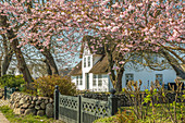 Thatched house with a blossoming cherry tree in Keitum, Sylt, Schleswig-Holstein, Germany