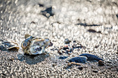 Sylt oyster and mussels on the beach of the Ellenbogen nature reserve, Sylt, Schleswig-Holstein, Germany