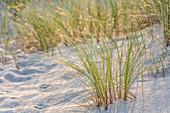 Beach grass on the Ellenbogen Peninsula, Sylt, Schleswig-Holstein, Germany