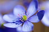 Hepatica in bloom, Hepatica nobilis, Bavaria, Germany