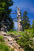 Dead gnarled spruce in the mountains, weather spruce, Picea abies, Upper Bavaria, Germany, Europe
