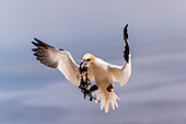 Northern gannet with food on the approach, Heligoland, North Sea, Schleswig-Holstein, Germany
