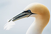 Portrait of a northern gannet with a feather in its beak, Heligoland, North Sea, Schleswig-Holstein, Germany