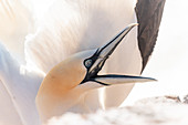 Close-up portrait of a northern gannet on Heligoland, North Sea, Schleswig-Holstein, Germany