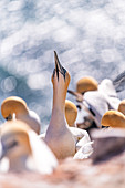 Portrait of a northern gannet with bokeh, Heligoland, North Sea, Schleswig_Holstein, Germany