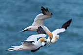 3 northern gannets in flight over the sea, Heligoland, North Sea, Schleswig-Holstein, Germany