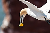 Northern gannet with food in flight in front of the Lummenfelsen, Heligoland, North Sea, Schleswig-Holstein, Germany