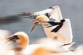 Basstölpel landet auf dem Vogelfelsen, Helgoland, Nordsee, Schleswig-Holstein, Deutschland