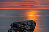 Northern gannet on the long Anna in sunset, Heligoland, North Sea, Schleswig-Holstein, Germany