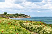 Poppies on the Dazendorfer steep coast, Baltic Sea, Ostholstein, Schleswig-Holstein, Germany
