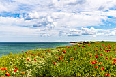View of the steep coast of Dazendorf, poppies, Baltic Sea, East Holstein, Schleswig-Holstein, Germany