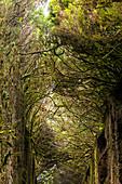 """Camino viejo al Pico del Inglés"" - tree-covered passage in the Anaga Mountains, Tenerife, Spain"
