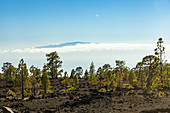 View of conifers and lava fields in El Teide National Park, Tenerife, Spain
