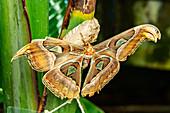 Large butterfly on leaf in the butterfly garden in Icod de los Vinos, Tenerife, Spain