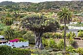 """""""Drago Milenario"""" - the oldest dragon tree in the Canaries and landmark, Icod de los Vinos, Tenerife, Spain"""