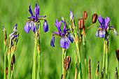 Blau blühende Schwertlilien, Iris, Iris sibirica, Weitsee, Chiemgauer Alpen, Chiemgau, Oberbayern, Bayern, Deutschland