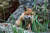 Young fox looks at viewer, Vulpes vulpes, Upper Bavaria, Bavaria, Germany